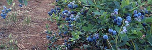 blueberries galore!